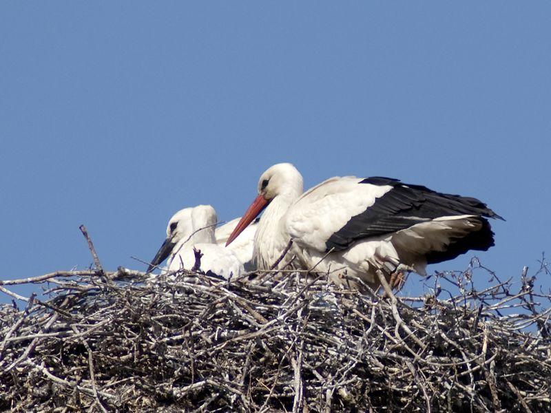 Storch Pärchen im Nest
