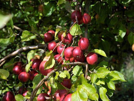 Baumfrüchte im Gut Seestermühe