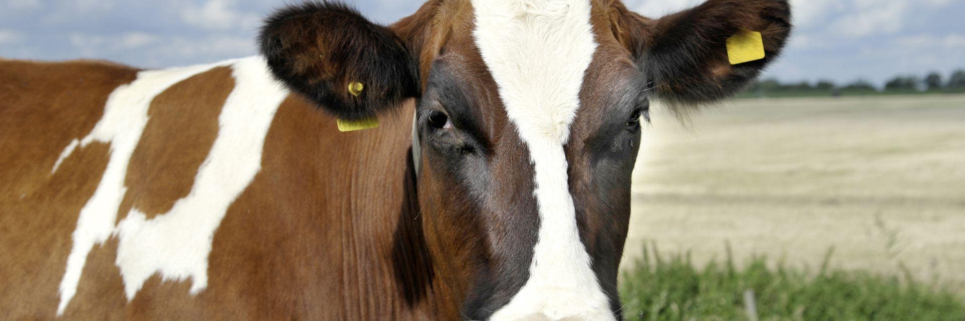 Holstein-Rind bei Itzehoe