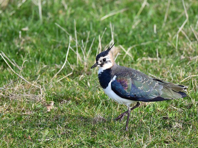 ein Kibietz Vogel auf grünem Feld
