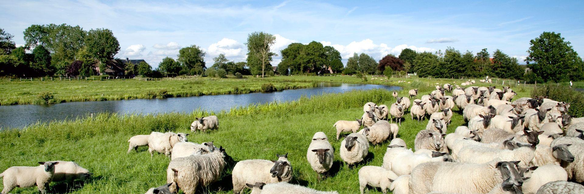 Schafe an der Wilster Au